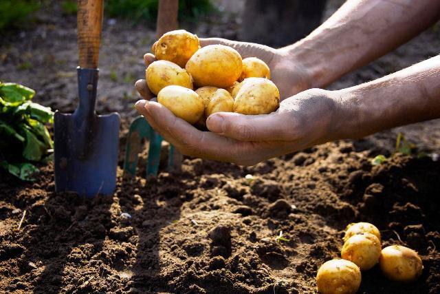 Посадка картофеля по лунному календарю в 2020 году