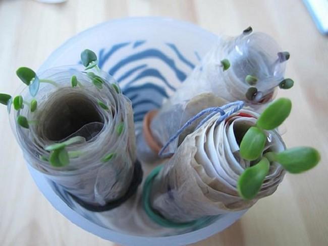 Посев семян в улитку на туалетную бумагу