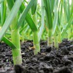 Как сажать чеснок весной пошаговая инструкция