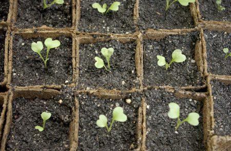 Как вырастить цветную капусту из семян рассадой