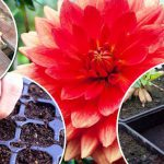 Как сажать георгины-клубни весной в открытый грунт