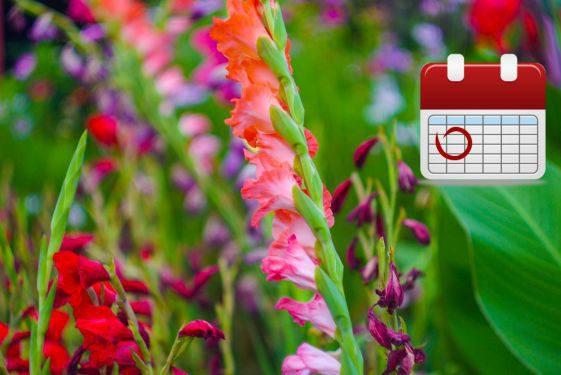 Посадка гладиолусов весной: когда и как посадить?