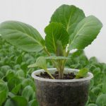 Выращивание рассады капусты из семян в домашних условиях