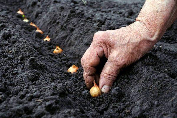 Как сажать лук весной в открытый грунт на головку