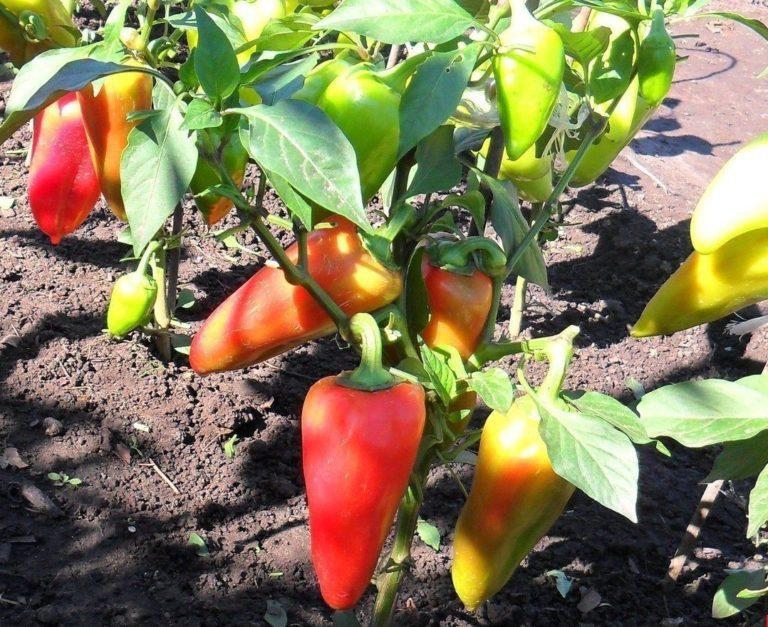 Подкормка перца во время цветения и завязывания плодов