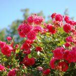 Подкормка роз весной для цветения