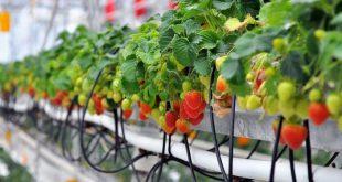 Полив клубники во время цветения и плодоношения