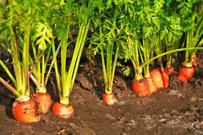 Полив моркови в открытом грунте: как часто?