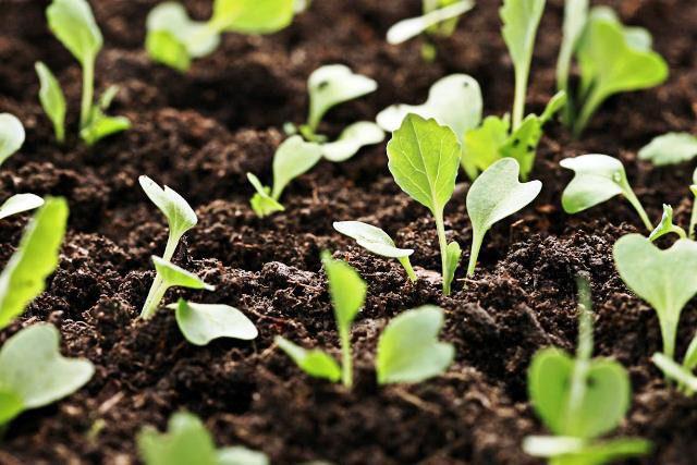 Благоприятные дни для посадки капусты в апреле 2020 года по лунному календарю