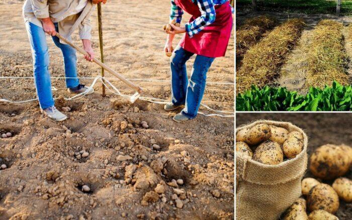 Посадка картофеля в мае 2020 по лунному календарю