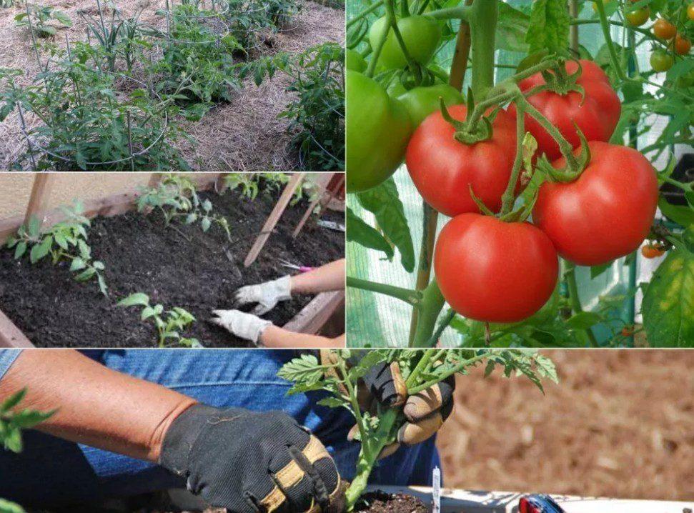 Благоприятные дни для высадки томатов в мае 2020 года по лунному календарю
