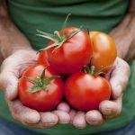 Благоприятные дни для пикировки томатов в мае 2021 года по лунному календарю