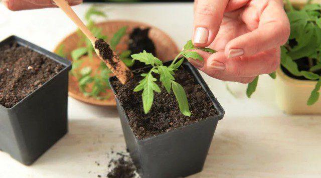 Благоприятные дни для пикировки томатов в мае 2020 года по лунному календарю