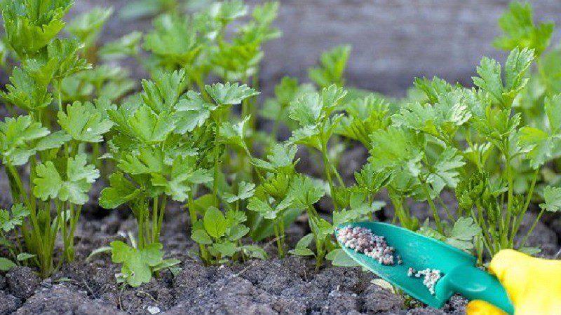 Как сажать петрушку в открытый грунт семенами весной