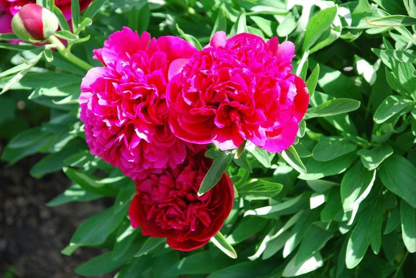 Подкормка пионов весной для цветения народные средства