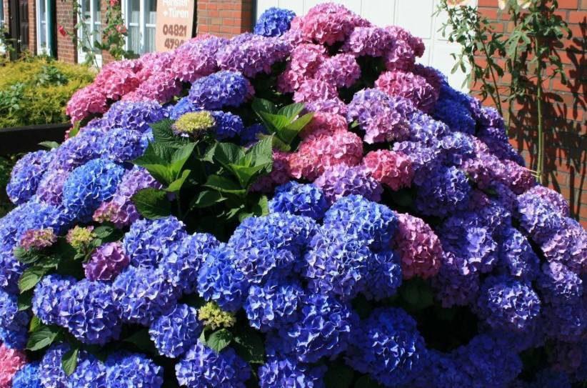 Удобрение гортензии летом для цветения