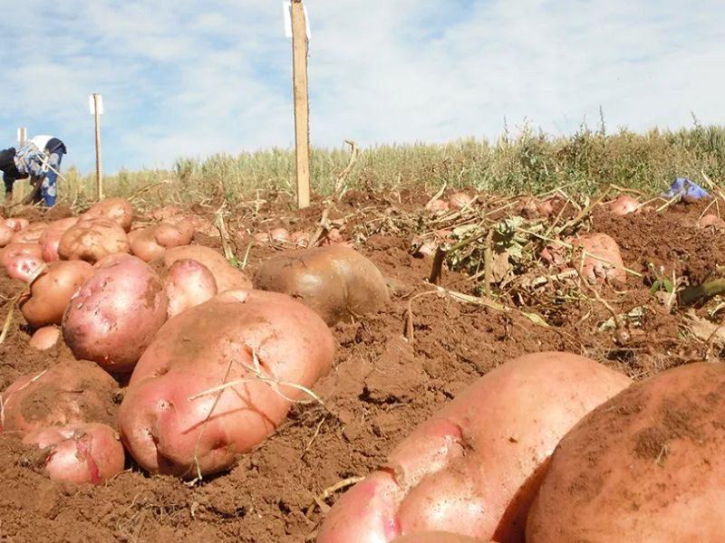 Удобрения картофеля для увеличения урожая