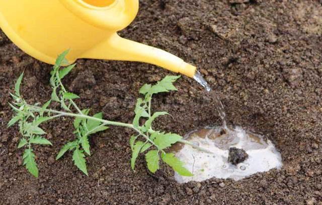 Благоприятные дни для высадки томатов в июне 2020 года по лунному календарю