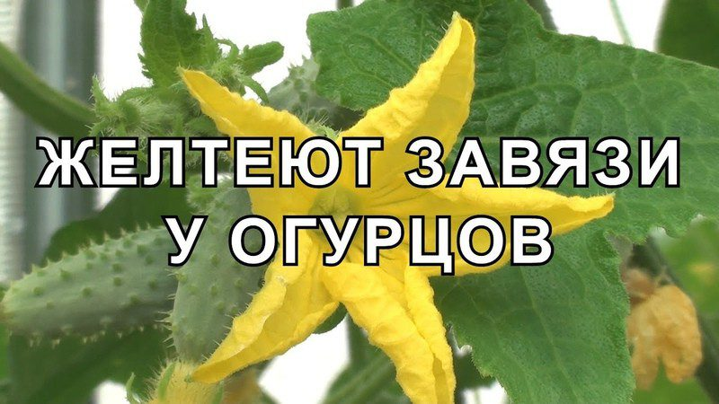 Почему желтеет завязь у огурцов в теплице и как с этим бороться?