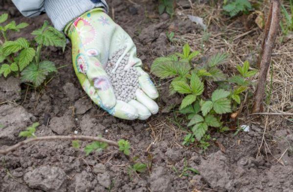 Подкормка малины весной для большого урожая