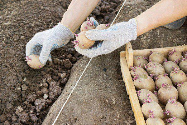 Посадка картофеля в июне 2020 по лунному календарю