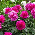 Почему не цветут пионы одни листья что делать