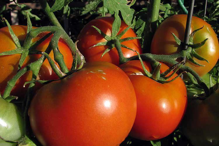 Чем подкормить томаты во время цветения и плодоношения в открытом грунте