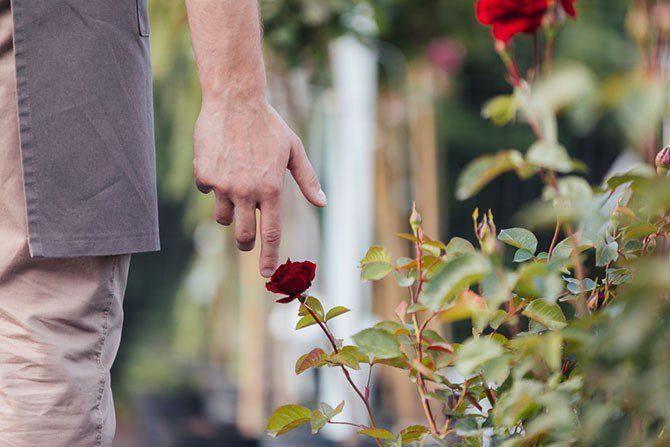 Тля на розах чем обработать в домашних условиях