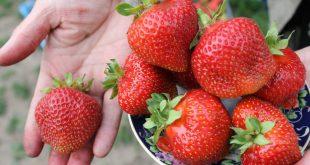 Гниет клубника: чем можно обработать в период плодоношения?