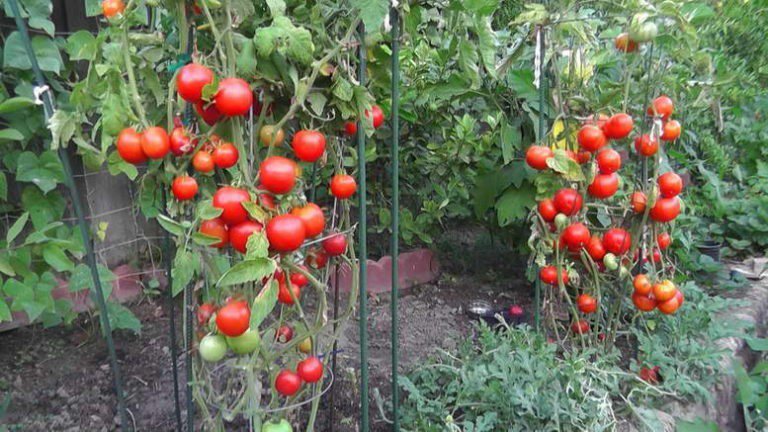 Чем подкормить томаты во время цветения и плодоношения в теплице