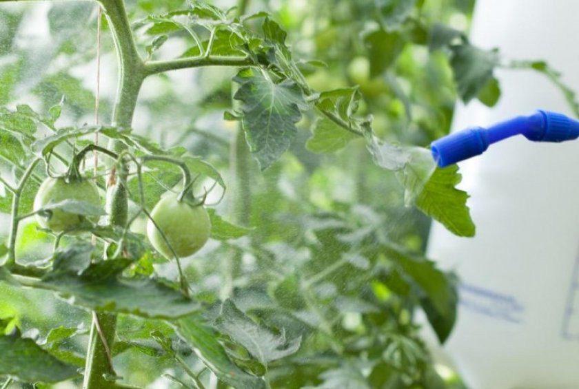 Тля на помидорах чем обработать в домашних условиях