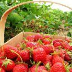 Уход за клубникой после плодоношения в августе