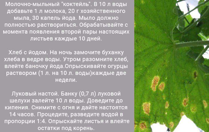 Чем полить огурцы чтобы листья не желтели и не сохли