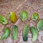 Чего не хватает огурцам по форме плода с фото и чем помочь