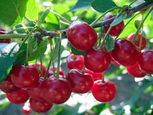 Подкормка вишни летом после плодоношения
