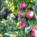 Обрезка колоновидной яблони осенью для начинающих в картинках пошагово