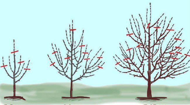 Обрезка плодовых деревьев осенью 2020 года по лунному календарю