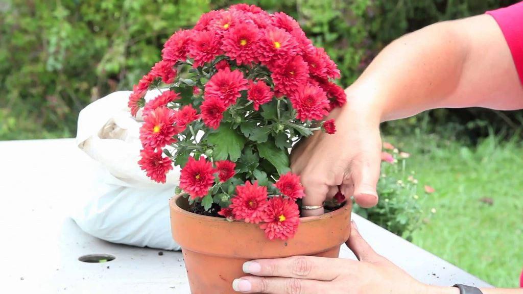 Хризантемы в горшках как ухаживать в домашних условиях после покупки