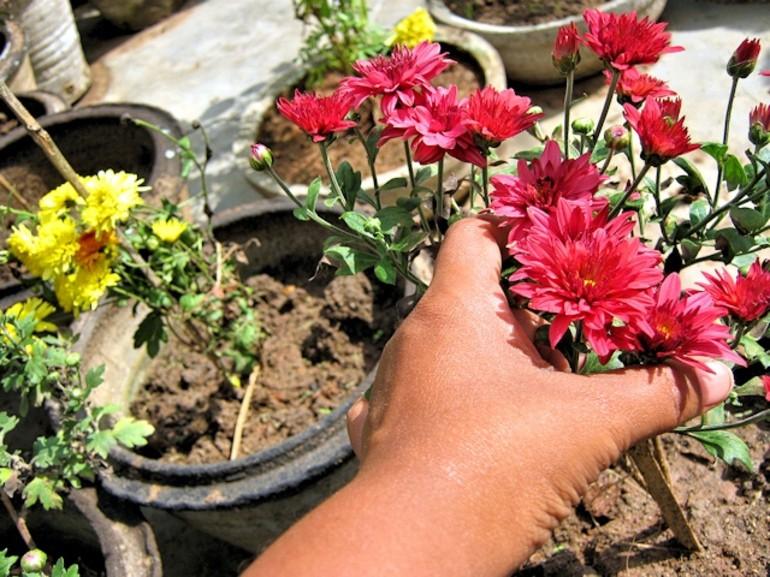 Хризантемы осенью: уход и подготовка к зимнему укрытию