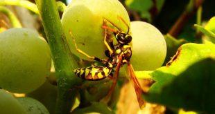 Осы едят виноград: как с ними бороться?