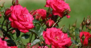 Как подкормить розы осенью перед укрытием на зиму