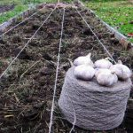 Благоприятные дни для посадки чеснока в октябре 2020 года по лунному календарю
