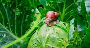 Методы борьбы со слизнями на капусте