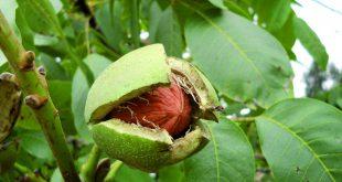 Обрезка грецкого ореха осенью для начинающих в картинках пошагово