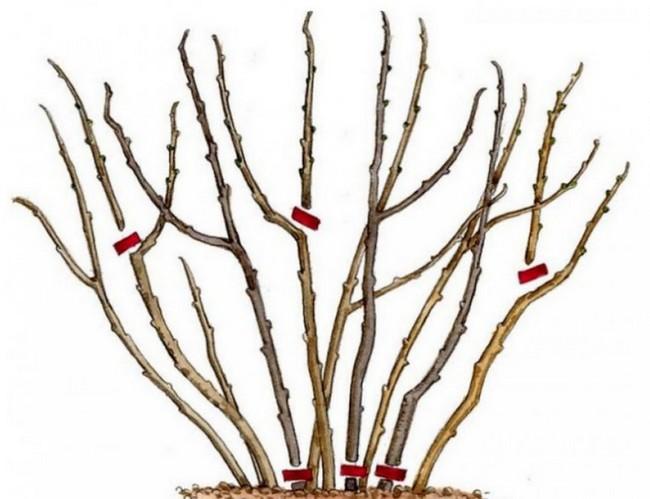 Обрезка кустарников осенью для начинающих в картинках пошагово