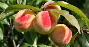 Обрезка персика осенью для начинающих в картинках пошагово видео