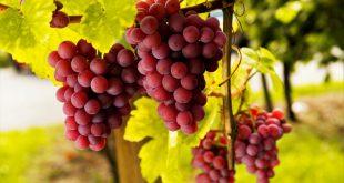 Как обрезать виноград осенью для начинающих в картинках пошагово