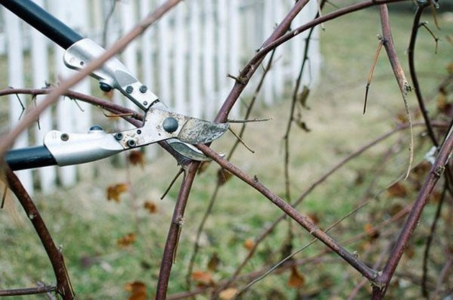 Обрезка ежевики осенью для начинающих в картинках пошагово