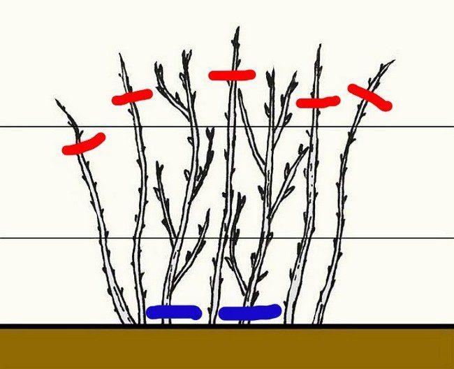 Обрезка кустарников осенью 2020 года по лунному календарю