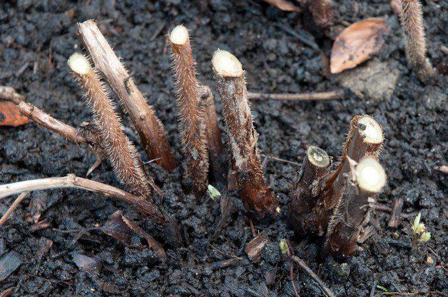 Обрезка малины осенью для начинающих в картинках пошагово